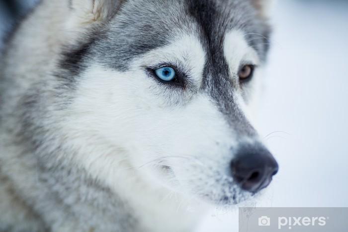 Naklejka Pixerstick Siberian husky pies Portret z bliska - Husky