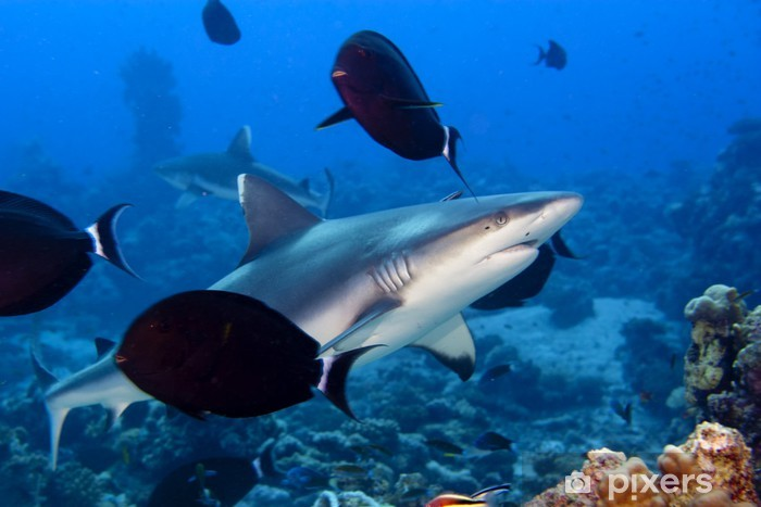 Fototapeta winylowa Rekin szary szczęki gotowy do ataku pod wodą bliska portret - Zwierzęta żyjące pod wodą
