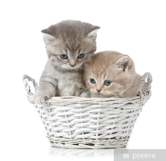 Naklejka Pixerstick Pięć tygodni stary brytyjski krótkie włosy kotek - Ssaki