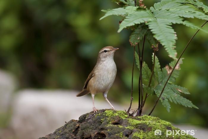 Nálepka Pixerstick Manchurian Bush-pěnice, Cettia difonová - Ptáci