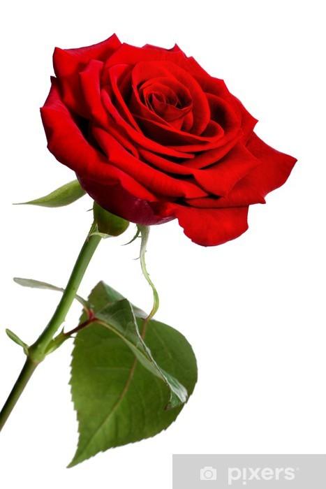 Carta Da Parati Unico Rosa Rossa Isolato Su Uno Sfondo Bianco
