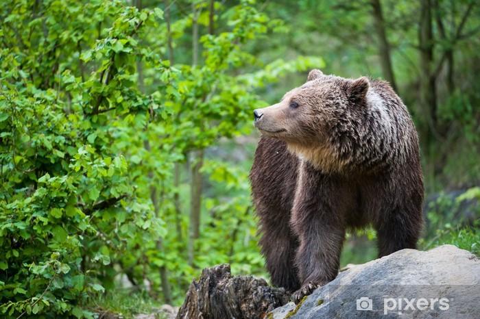 brown bear (lat. ursus arctos) Pixerstick Sticker - Themes