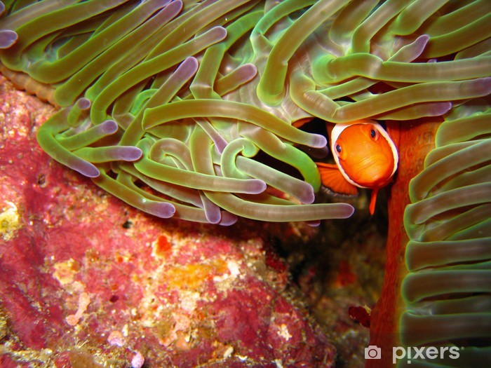 Naklejka Pixerstick Klaun ryb tropikalnych - Zwierzęta żyjące pod wodą