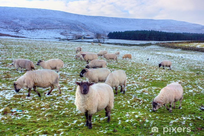 Papier peint vinyle Troupeau de visage noir pâturage des moutons en hiver. - Agriculture