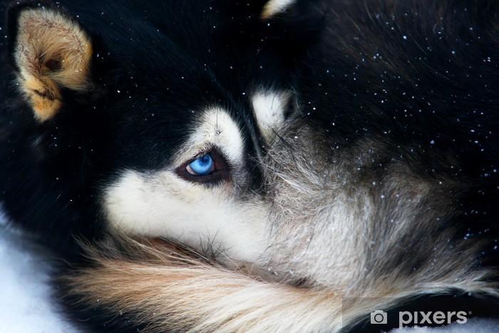 Fototapeta winylowa Portret husky - Husky