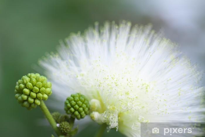 Fototapeta winylowa Cali Andora Haematokefara - Kwiaty