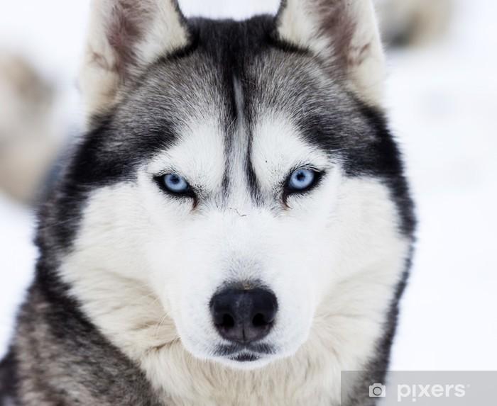 Fototapeta winylowa Zamknąć się na niebieskich oczach husky - Husky