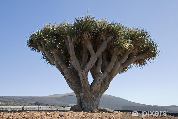 Fototapeta winylowa Dracaena draco (drago lub smocze drzewo) w Lanzarote, Hiszpania - Drzewa