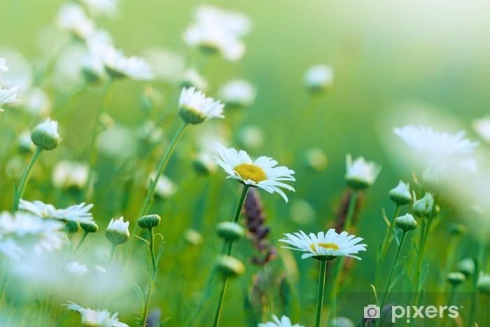 Fototapeta winylowa Piękna Wiosna Daisy na łące - Pory roku