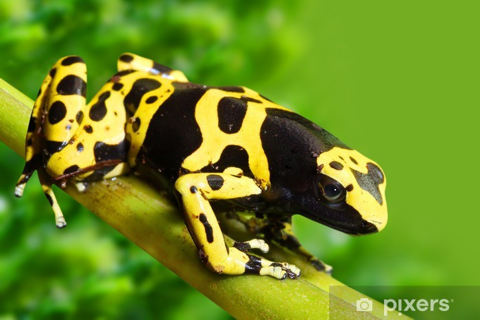 The poison dart frog Dendrobates leucomelas in a rainforest. Vinyl Wall Mural - Frogs