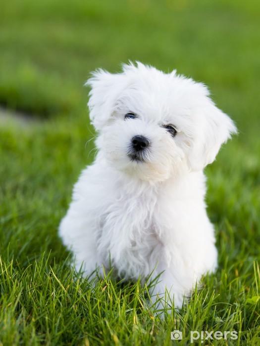 Fototapete Hund Welpen Cute Malteser Welpen Im Garten Pixers