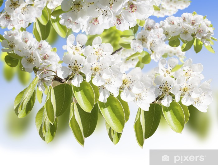 Papier peint vinyle Fleur de poire - Saisons