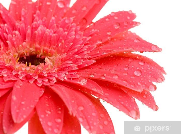 Vinyl-Fototapete Schöne Blume Gerbera isoliert auf weiß - Blumen