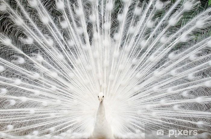 Pixerstick Sticker Witte pauw met veren uit - iStaging