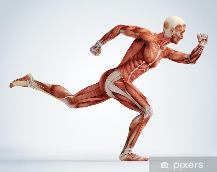 Vinyl Fotobehang Anatomie, spieren - Thema's