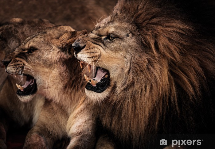 Close-up shot of roaring lion and lioness Vinyl Wall Mural -