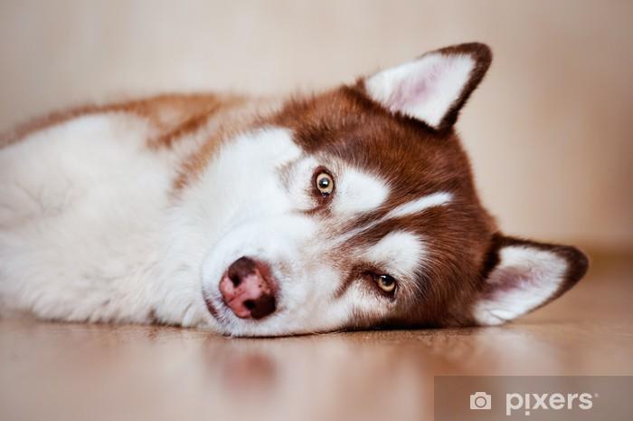Sticker Pixerstick Siberian husky repos à l'intérieur - Husky