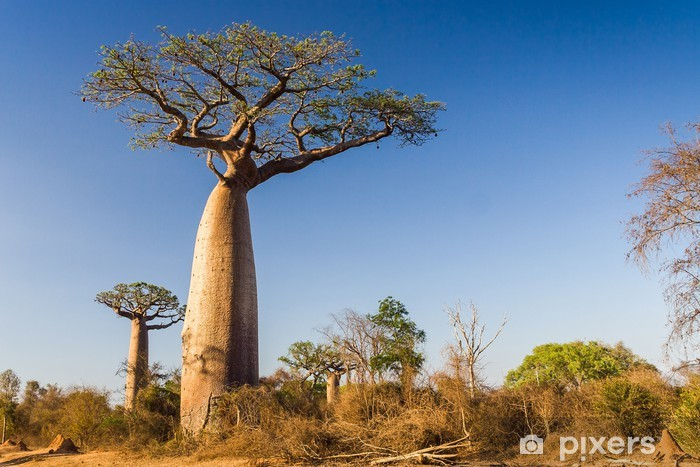 Vinyl Fotobehang Baobab boom, Madagascar - Thema's