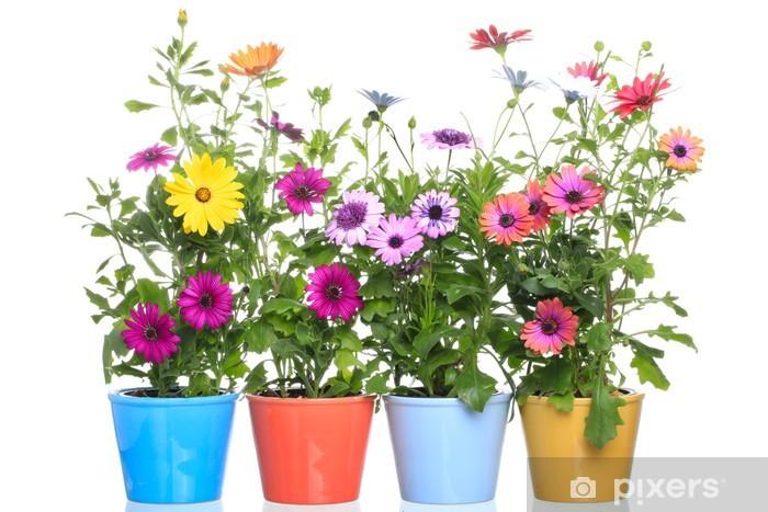 Naklejka Kolorowe Doniczki Z Colorfull Gerbery Dimorphoteca Kwiat Pixerstick