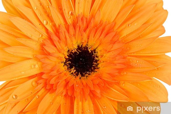 Sticker Pixerstick Belle fleur Gerber close-up - Fleurs