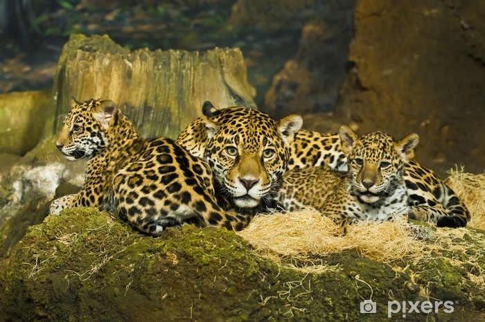 Nálepka Pixerstick Jaguar Cubs - Život