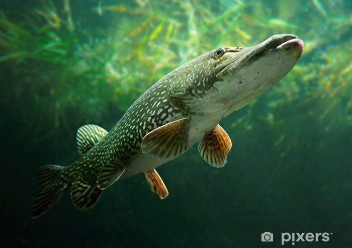 Fototapeta winylowa Podwodne zdjęcie dużego szczupaka (Esox lucius). - Tematy