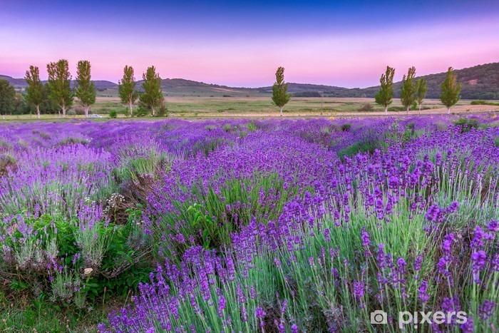 Pixerstick Sticker Lavendelveld in de zomer bij zonsondergang - Kruiden