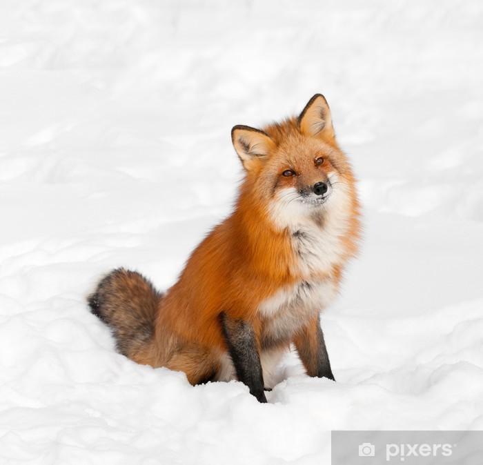Vinyl Fotobehang Rode vos (Vulpes vulpes) zit in de sneeuw met Cocked Head - Thema's