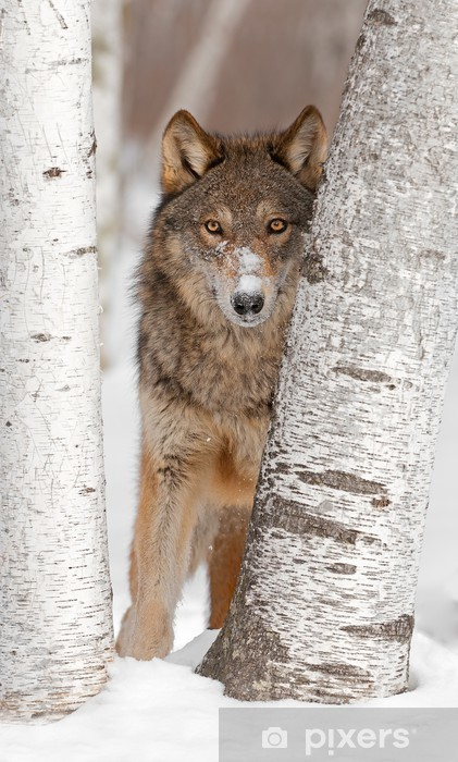 Papier peint vinyle Loup gris (Canis lupus) Look entre deux arbres de bouleau - Thèmes