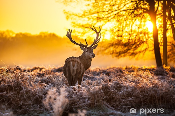 Vinyl Fotobehang Red Deer in de ochtend zon. - Thema's