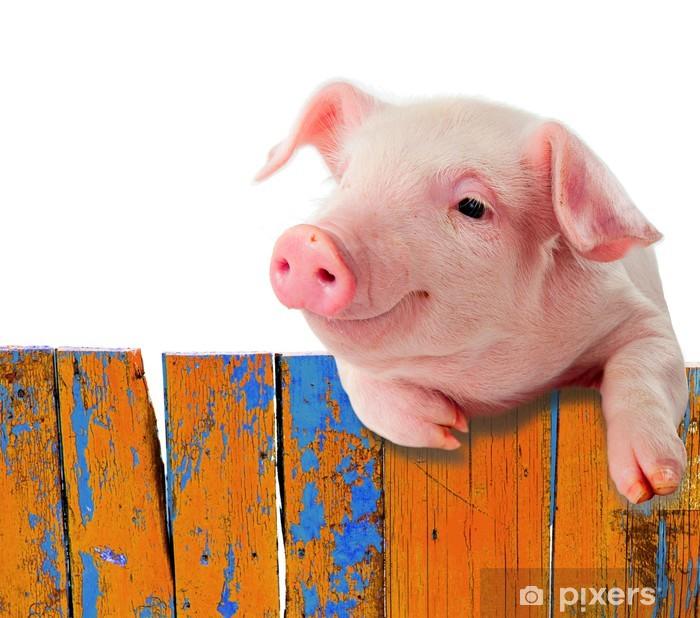 Papier peint vinyle Drôle de porc accroché sur une clôture. Isolé sur fond blanc. - Mammifères