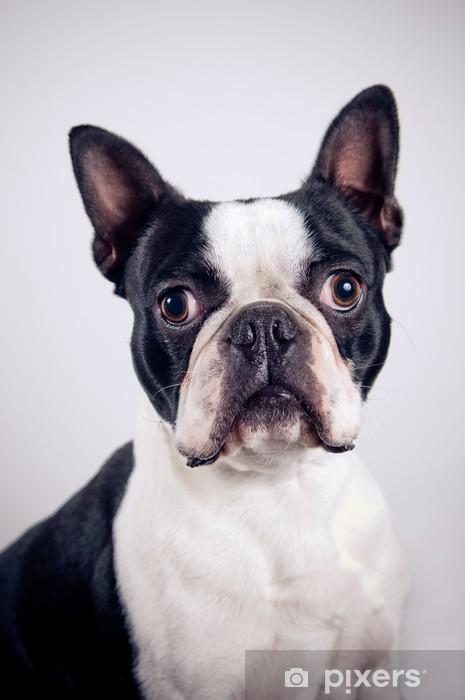 Fototapeta winylowa Boston terrier portret - Ssaki