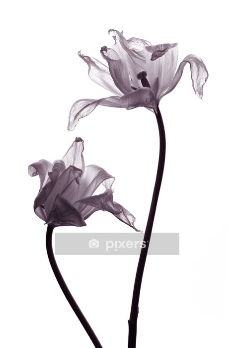 tulip silhouettes on white Wall Decal - Celebrations