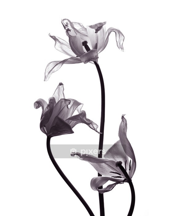 three tranparent tulips on white background Wall Decal - Wall decals