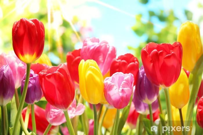 Naklejka Pixerstick Świeże tulipany w ciepłe światło słoneczne - Tematy