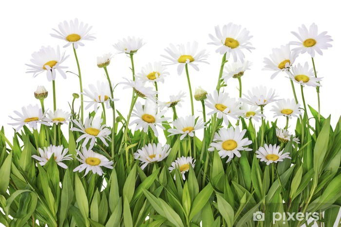 Daisies meadow isolated fragment Vinyl Wall Mural - Flowers