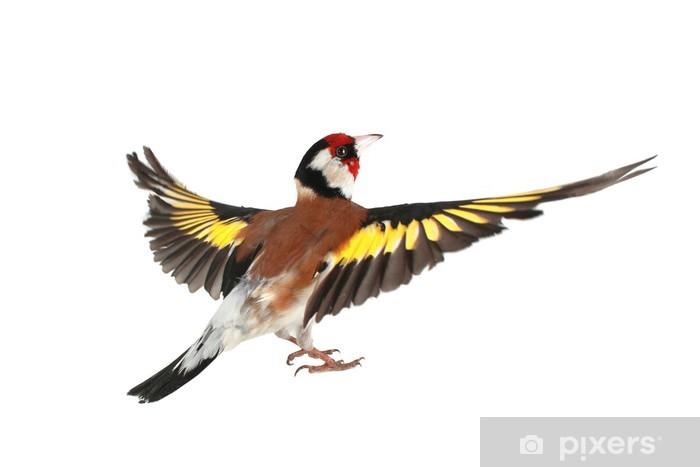 Papier peint vinyle Chardonneret - Oiseaux