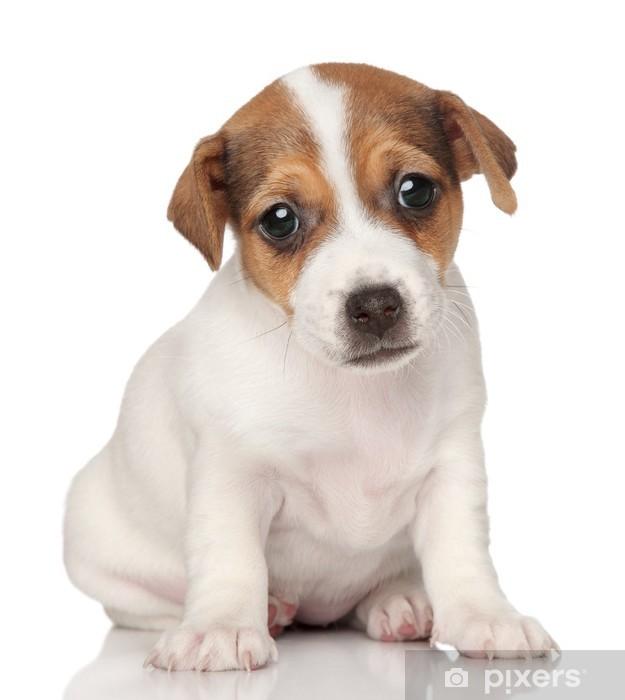Aufkleber Jack Russell Terrier Welpen Posiert Pixers Wir Leben Um Zu Verändern