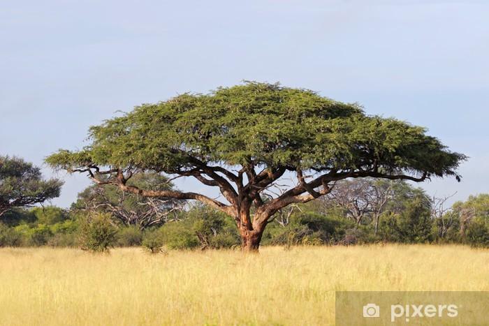 Naklejka Pixerstick Afrykańskiego drzewa Acacia, Park Narodowy Hwange - Tematy