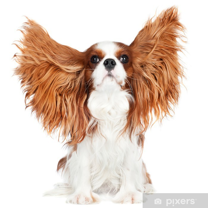 cavalier king charles spaniel dog with ears in the air Poster - Mammals