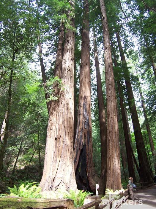 Fototapeta winylowa Sequoia i pieszych -