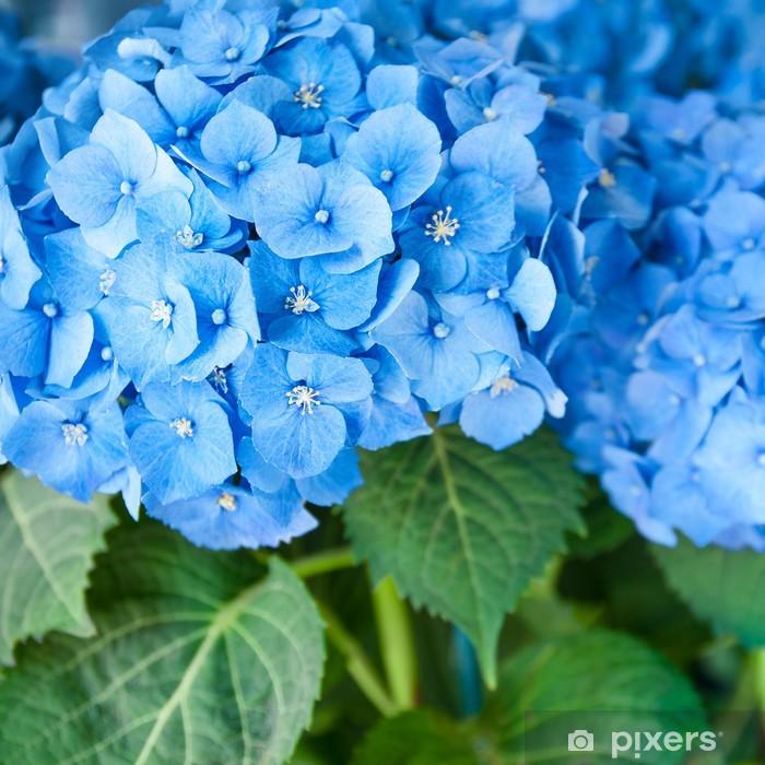 Blaue Hortensie Hydrangea Macrophylla Ballhortensie Wall Mural