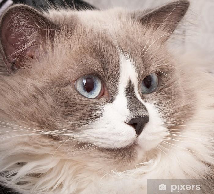 Plakat Kot rasy ragdoll zbliżenie twarzy - Ssaki