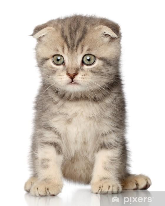 Scottish Fold Kitten Laptop Sticker