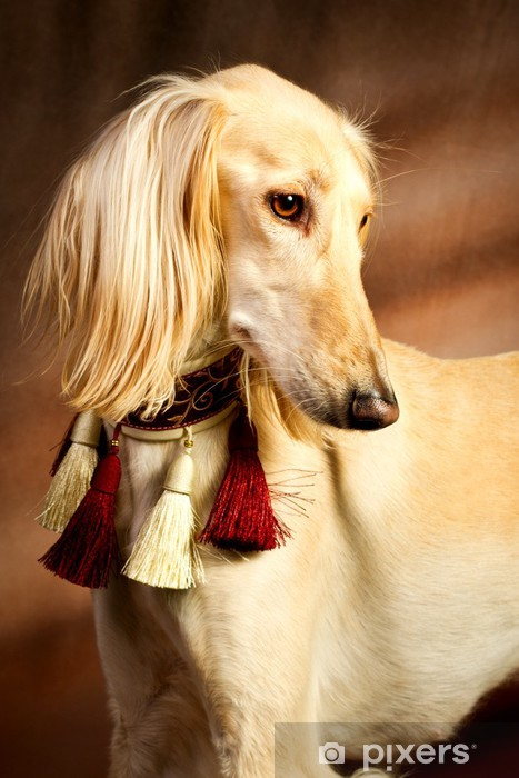 Vinyl Fotobehang Saluki portret - Zoogdieren
