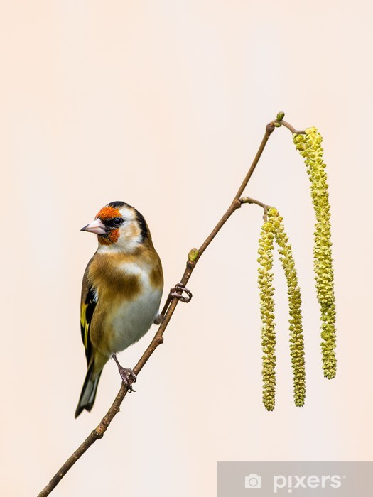 Goldfinch on Catkins Pixerstick Sticker - Birds