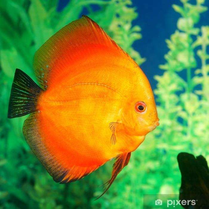 Plakat Symphysodon spp. Discus ryby. w akwarium - Zwierzęta żyjące pod wodą
