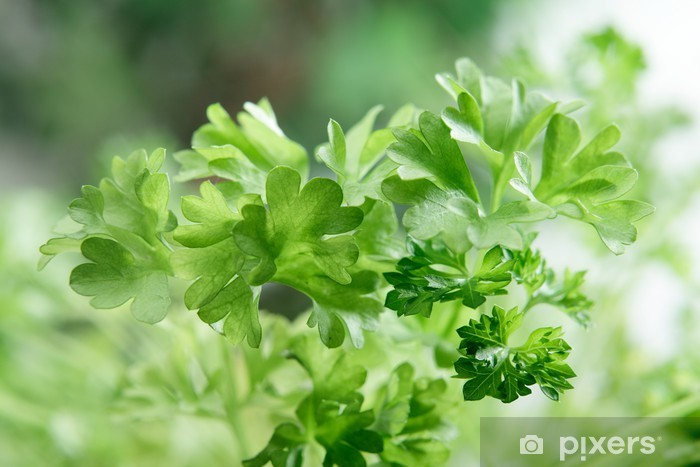 Vinyl-Fototapete Nahaufnahme der frischen Petersilie - Pflanzen
