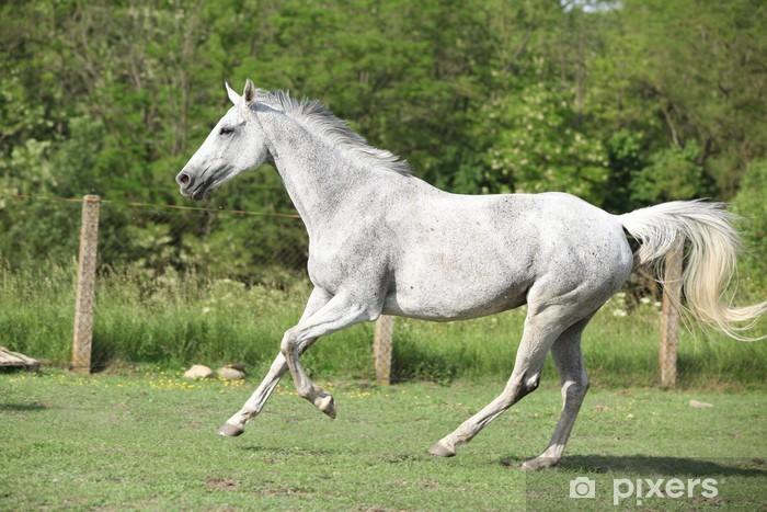White English Thoroughbred Horse Running In Paddock Wall Mural Vinyl