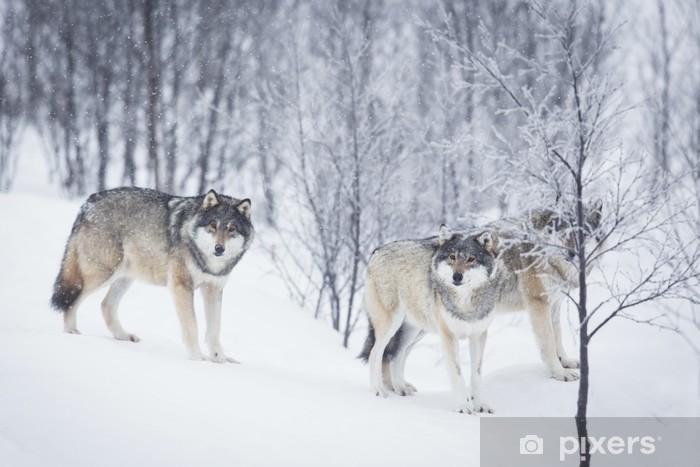 Vinyl Fotobehang Drie Wolven in de sneeuw - Thema's